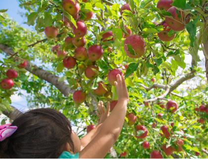 阿蘇市/リンゴ狩り体験コース
